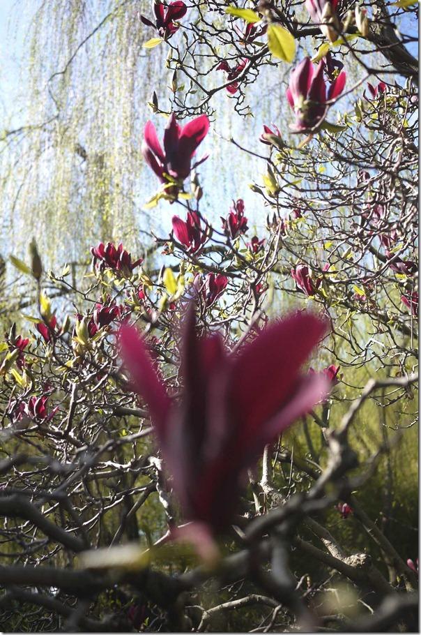 Magnolia blooms, Chinese Gardens of Friendship, Sydney