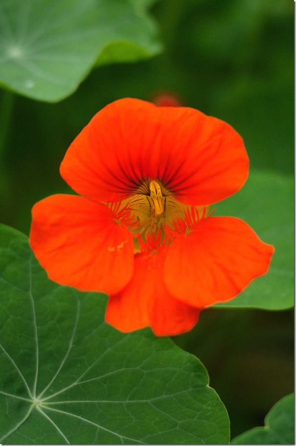 Nasturtium, Mount Tomah Botanic Garden