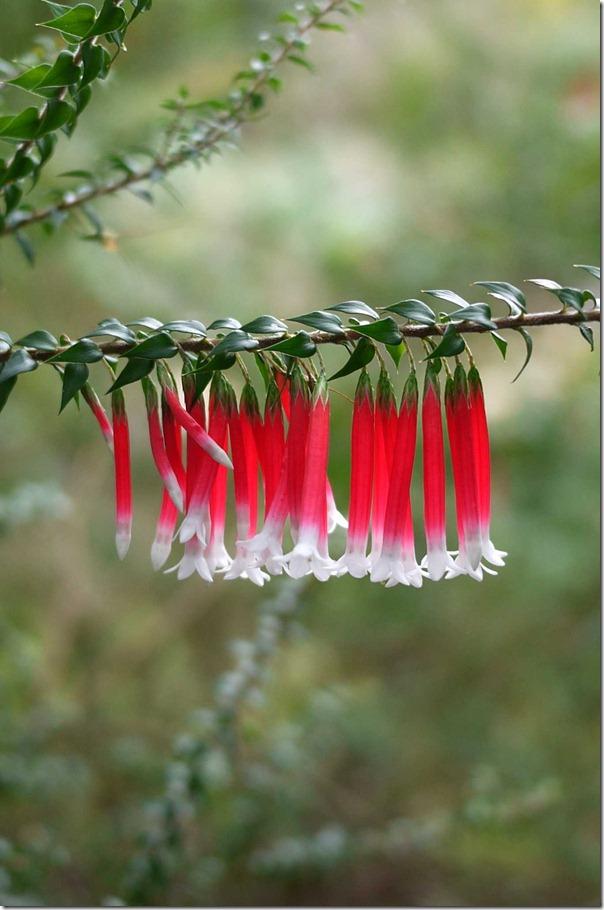 Epacris, Mount Tomah Botanic Garden