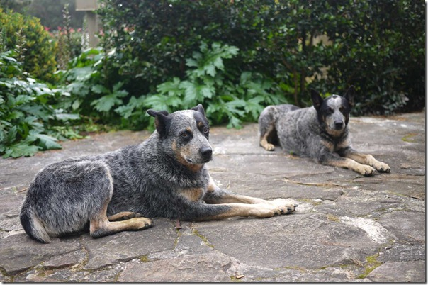 Adorable cattle dogs that wait for us each morning