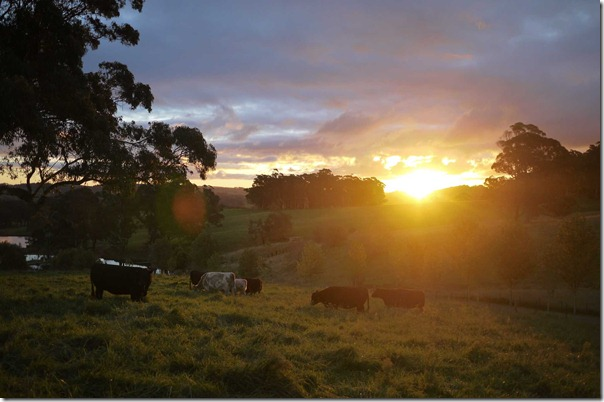 Sunset and the cows are coming home