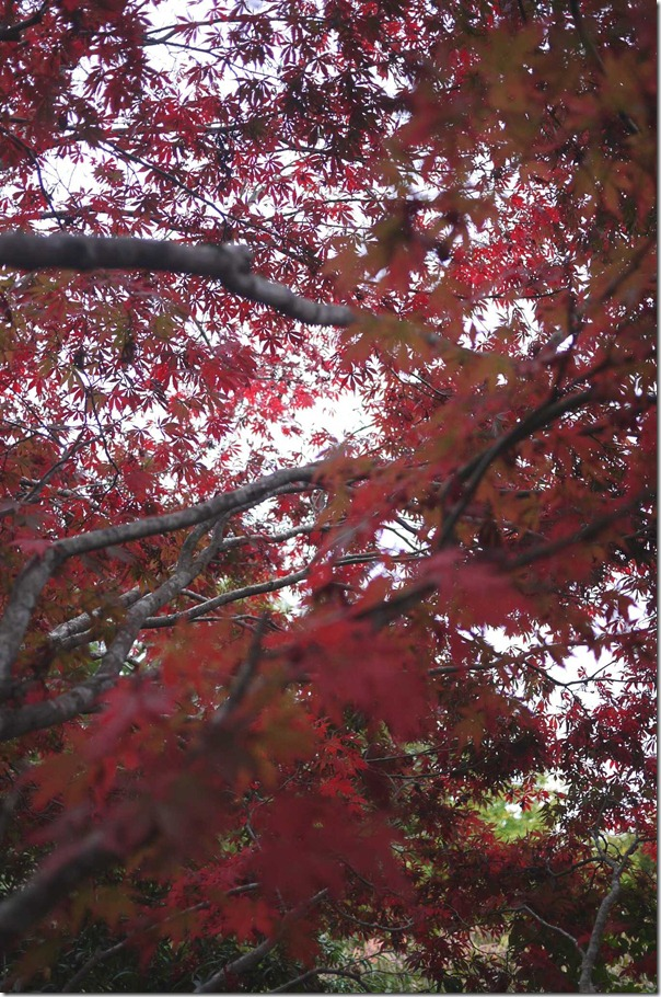 A sky of red, Mount Tomah Botanic Garden