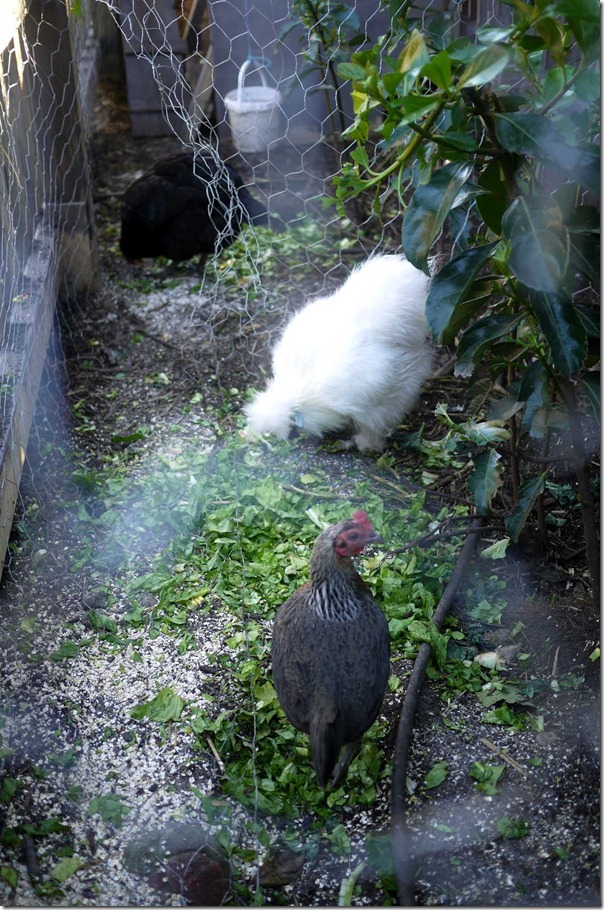 Chickens - The Grounds of Alexandria