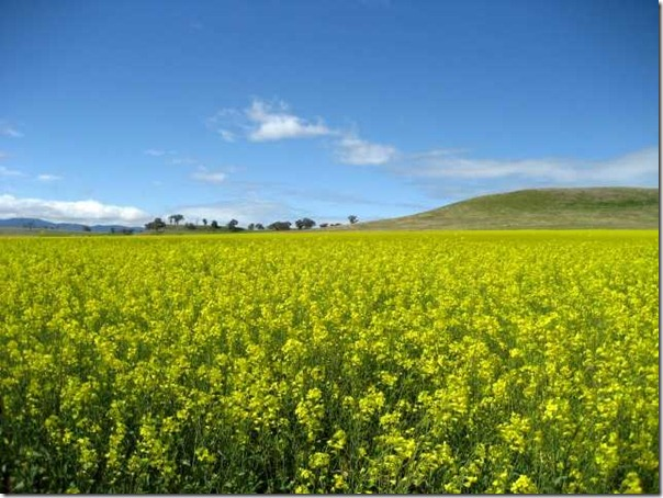 Canola fields, Orange, Central Tablelands