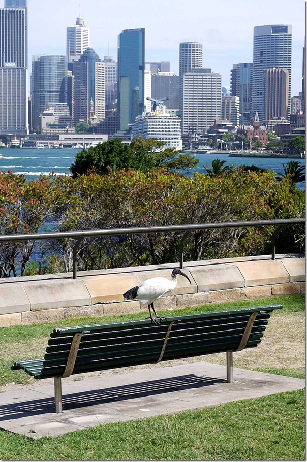 Ibis on a park bench at Bradfield Park, Kirribilli, Sydney