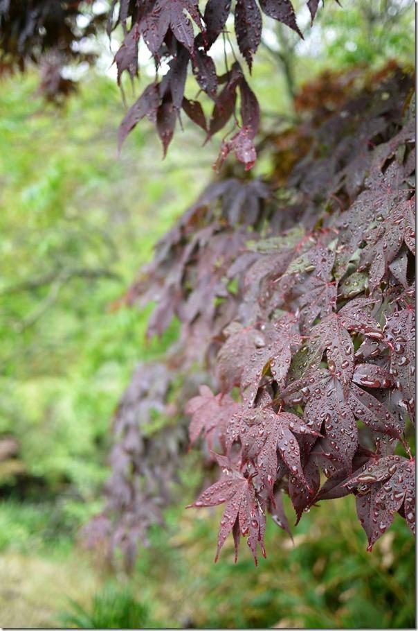 Nature's beauty: Tender raindrops on maple leaves