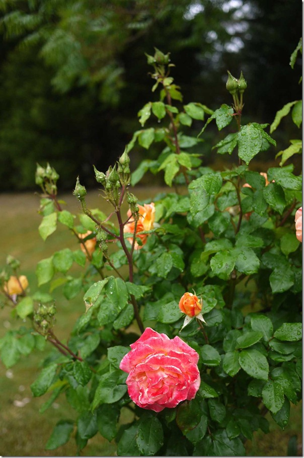 A rose in the rain ...