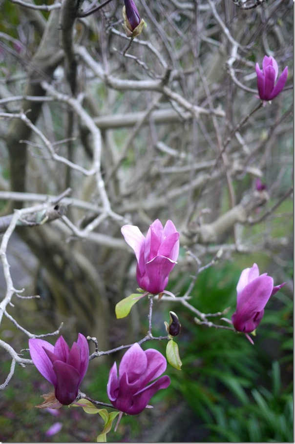 Magnolia blooms, Woolwich
