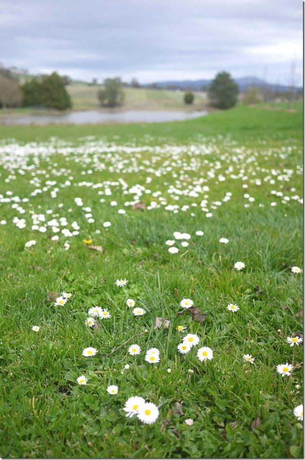 Grassland at St Huberts winery, Yarra Valley
