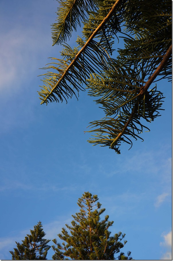 Pine trees, Cottesloe beach, Perth, Western Australia