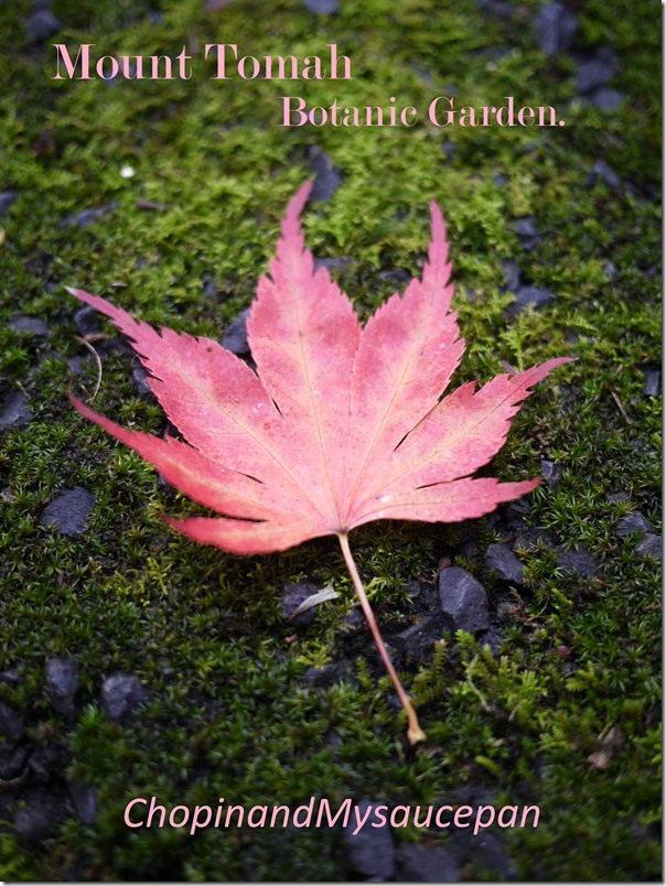 Maple leaf, Mount Tomah Botanic Garden, Blue Mountains