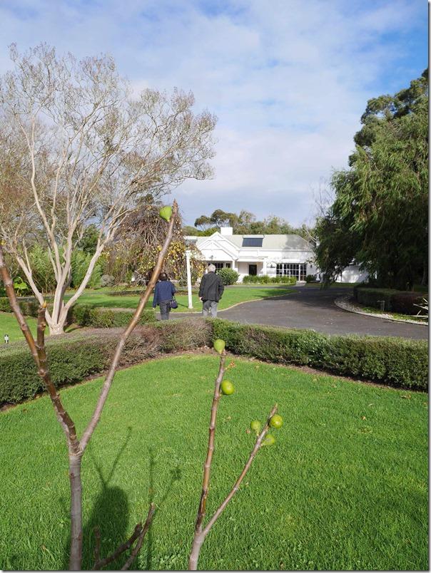 Fig tree at Dromana Estate, Mornington Peninsula, Victoria
