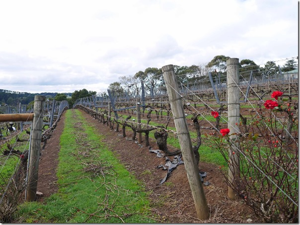 Red roses at the vineyards of Paringa Estate Winery, Red Hill South Mornington Peninsula, Victoria