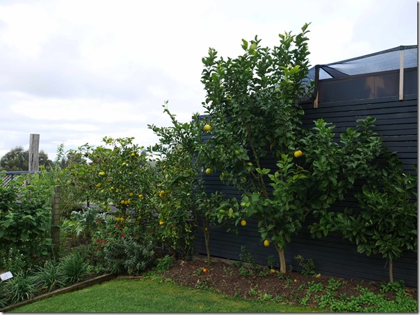 Lemon trees at Ten Minutes By Tractor 1333 Mornington Flinders road Main Ridge, Mornington Peninsula, Victoria