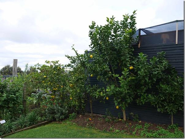Lemon trees at Ten Minutes By Tractor 1333 Mornington Flinders road Main Ridge, Mornington Peninsula, Victoria