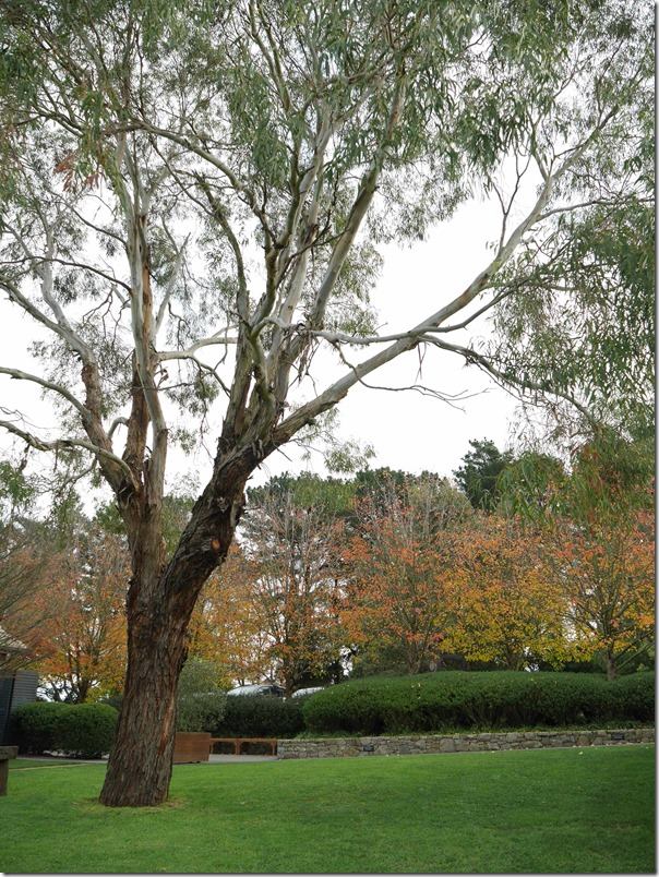 Gum tree at Ten Minutes By Tractor, Mornington Peninsula, Victoria