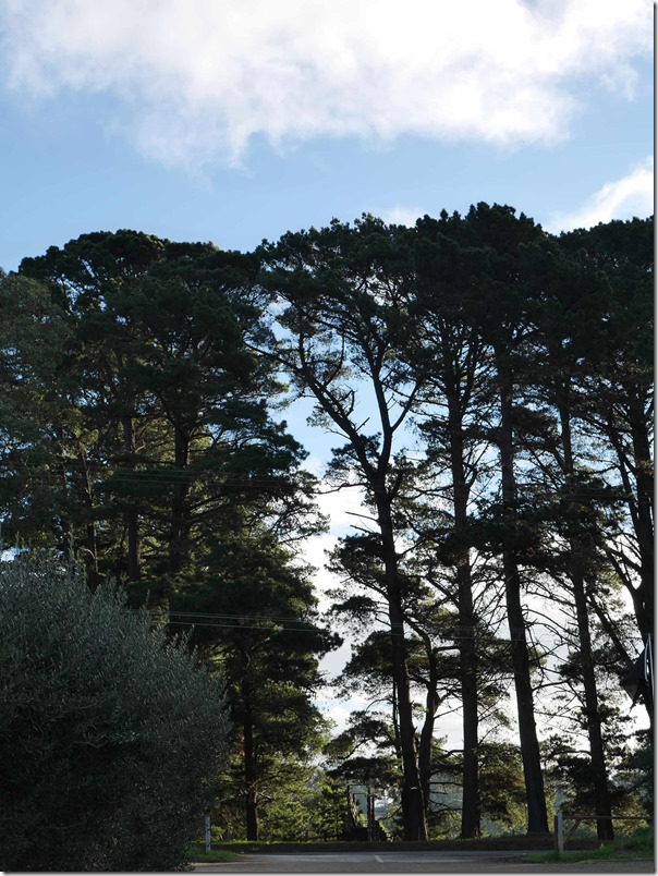Trees along Mornington-Flinders road, Main Ridge, Mornington Peninsula, Victoria