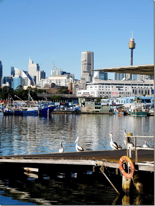 Pelicans at The Boathouse on Blackwattle Bay, Glebe