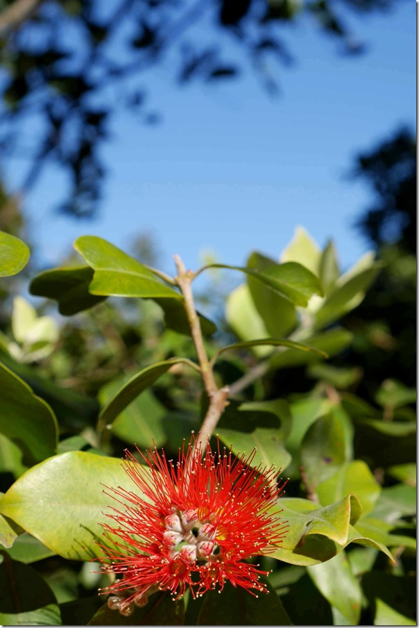 Callistemon at Central Coast, New South Wales