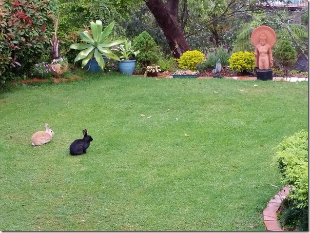 Rabbits in our backyard