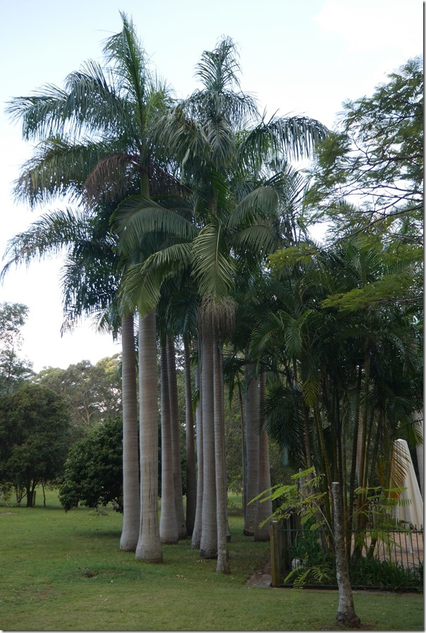 Tall palms in the gardens of the Fezes'