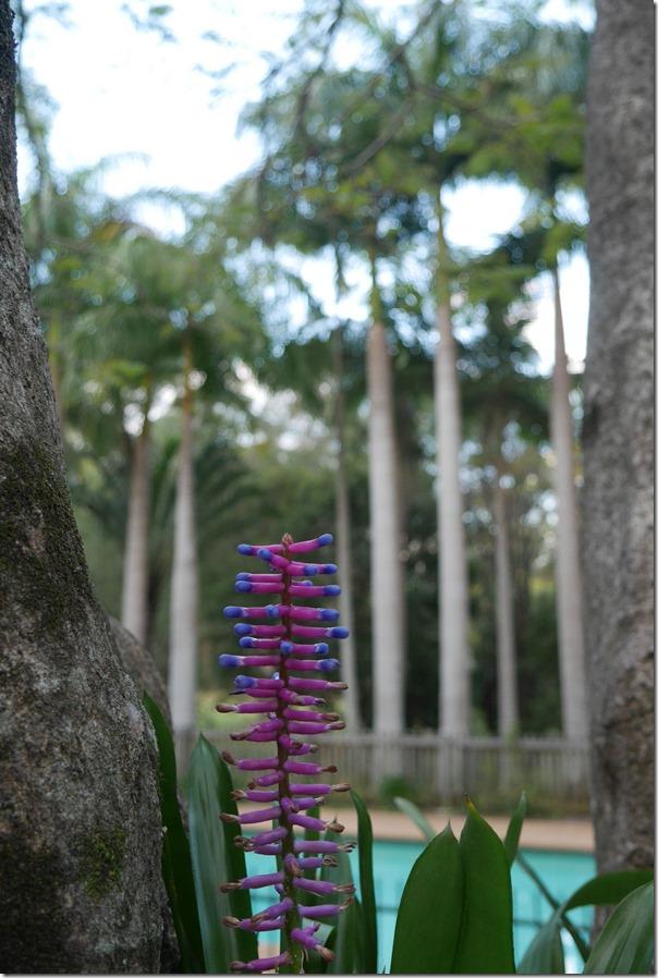 Narrow palm lily (Cordyline stricta)